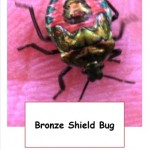 bronze shield bug