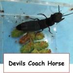 devils coach horse