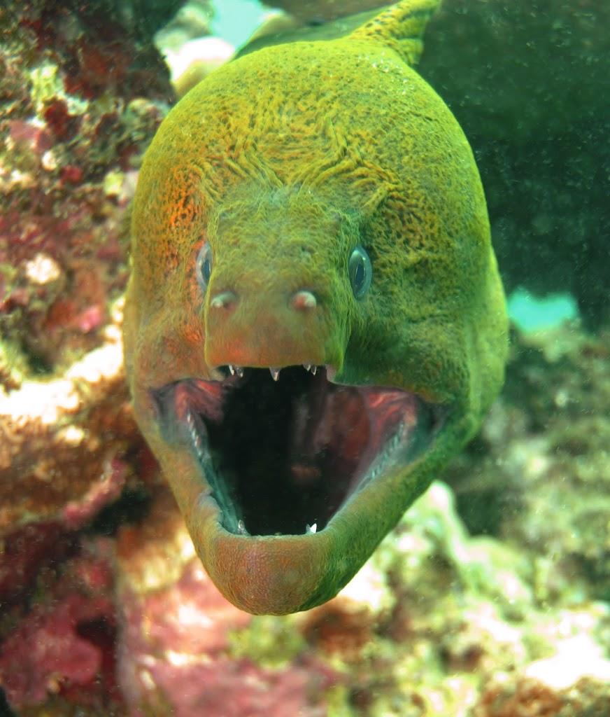 Giant-Moray-Eel