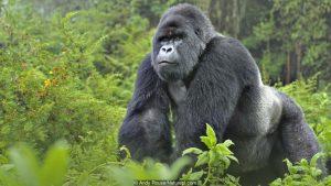 Mountain gorilla (Gorilla beringei) silverback in Susa group, Parc National des Volcans, Rwanda